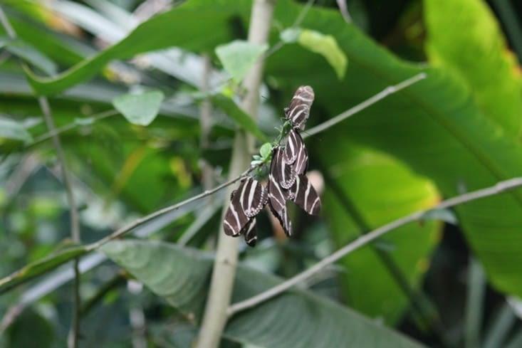 Papillon zèbre