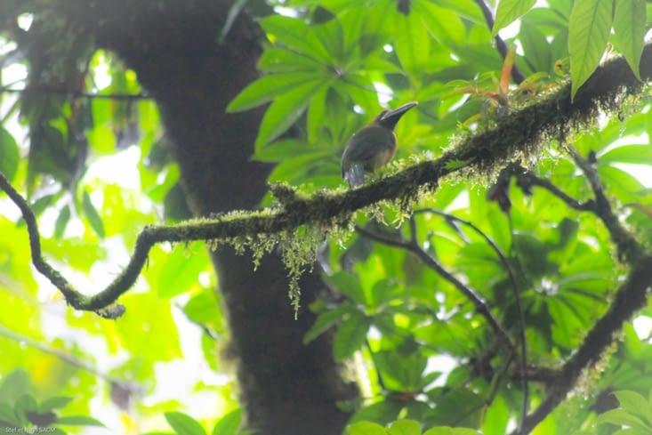 Toucan Aracari