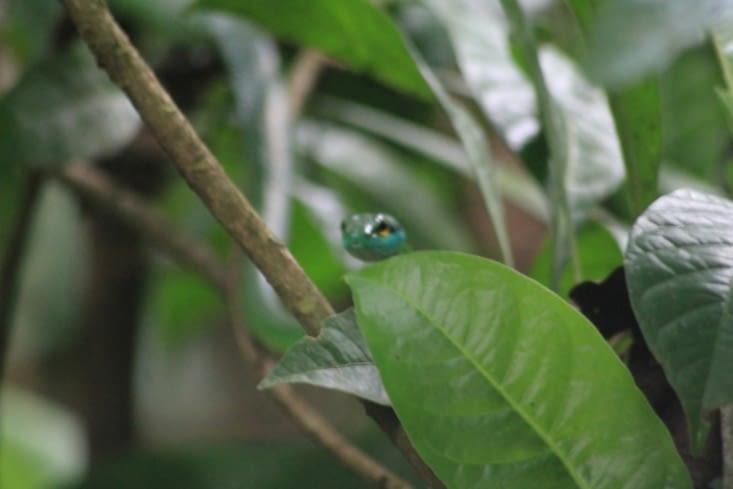 Serpent liane vert
