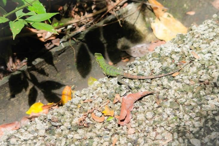Un lézard  bicolore