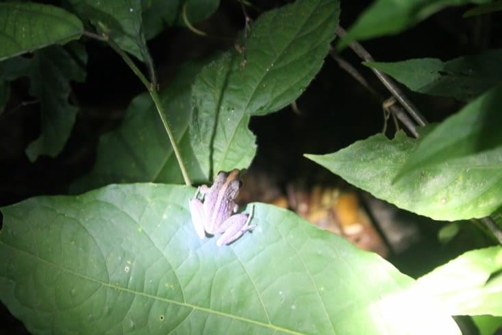 Autre grenouille