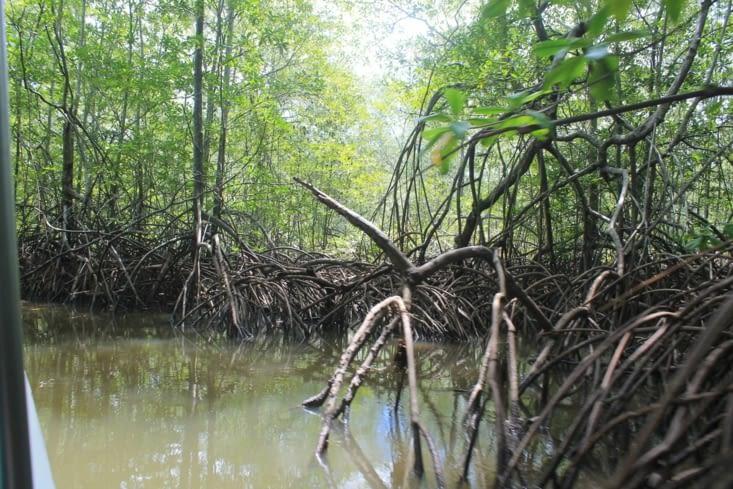 Entrée dans la mangrove