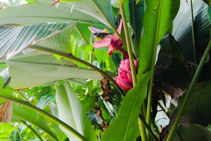 Bananier rose en fleur avec un petit gourmand