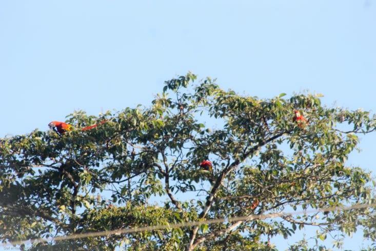 Macaws petit déjeunent dans l arbre en face de nous