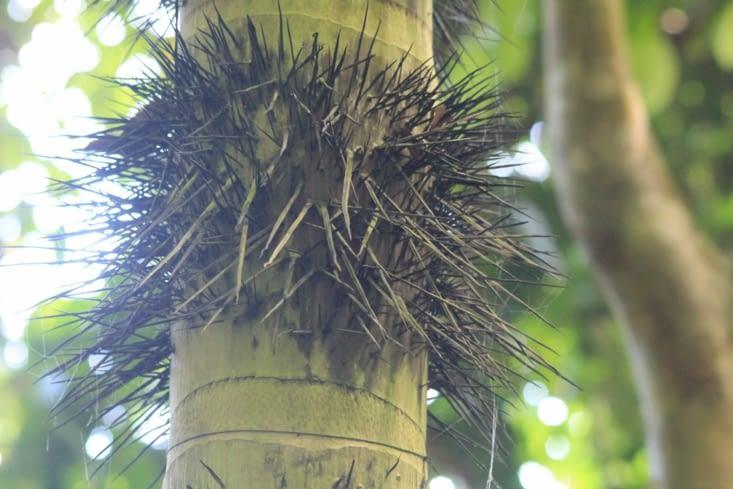 Un palmier plutôt piquant
