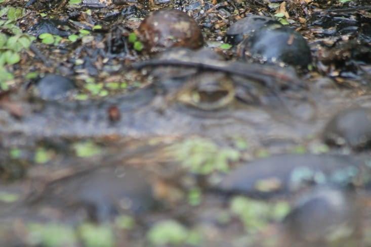 Bel exemple de camouflage ici se cache un caïman        oui oui c'est vrai