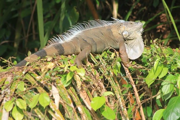 Un gros iguane