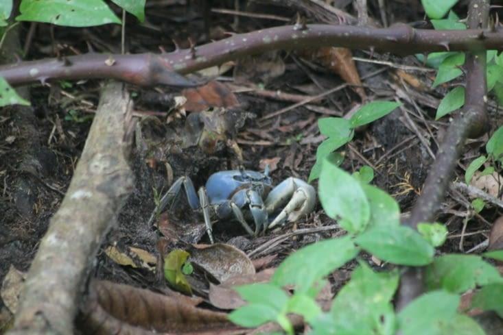 Notre ami le crabe blue