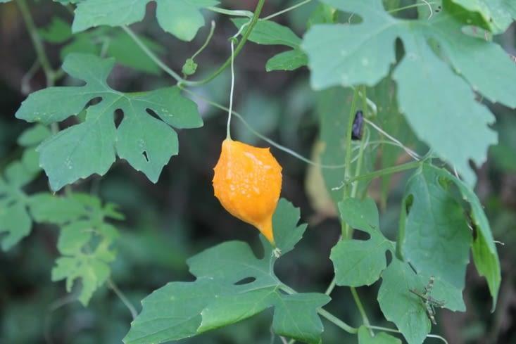 Un fruit inconnu