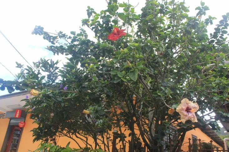 Ici un très beau mélange d Ibiscus et Altea