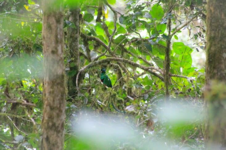 Mâle quetzal