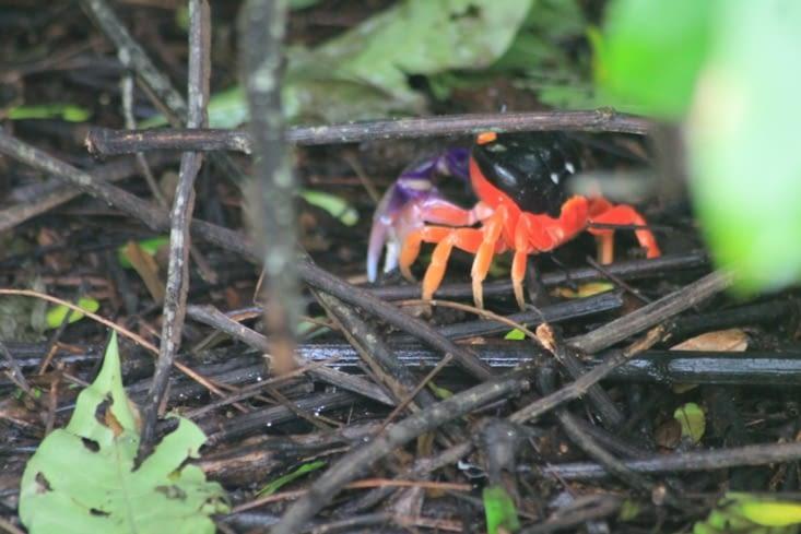 Beaucoup de crabe rouge à grosses pinces violettes