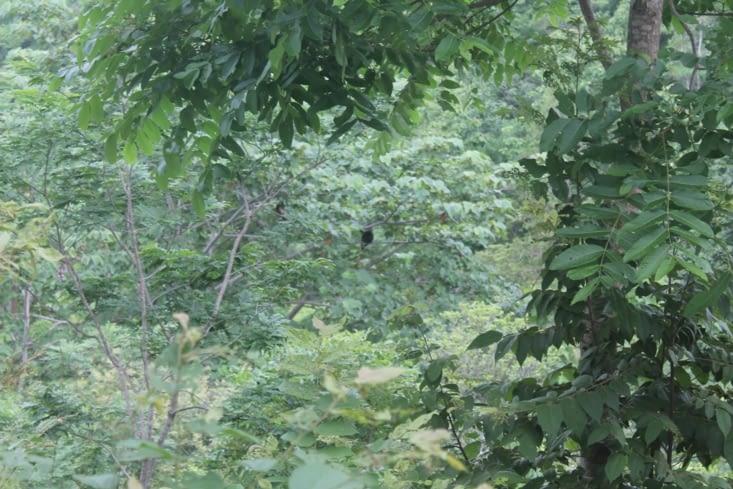 Forêt avec des singes hurleurs