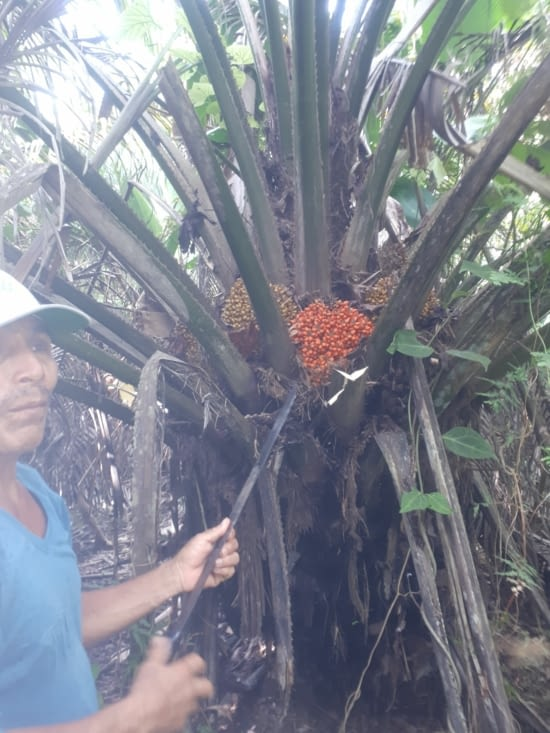 Fruit des palmiers pour l huile de palme