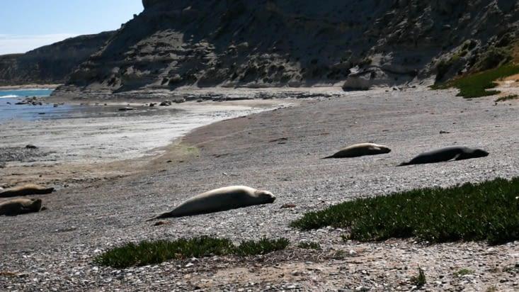 Jeunes éléphants de mer, alias grosses paupiettes de mer qui ne bougent absolument pas !