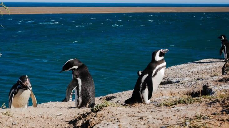 Manchots de Magellan - Ils viennent aussi se reproduire chaque année sur la péninsule