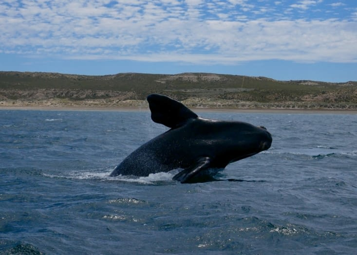 Saut de baleineau ! <3 <3 <3