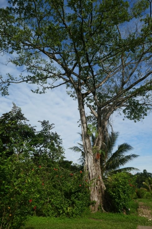 Des arbres majestueux