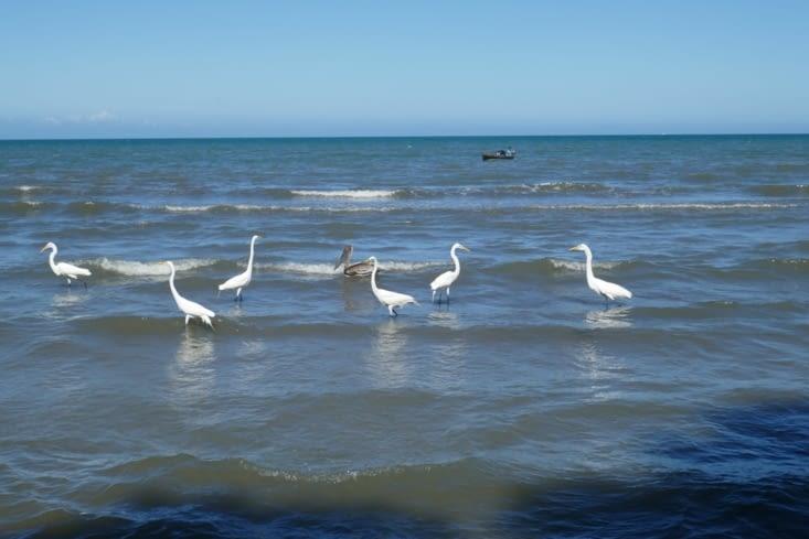Sur le Rio Dulce et le long de la plage beaucoup d'oiseaux.
