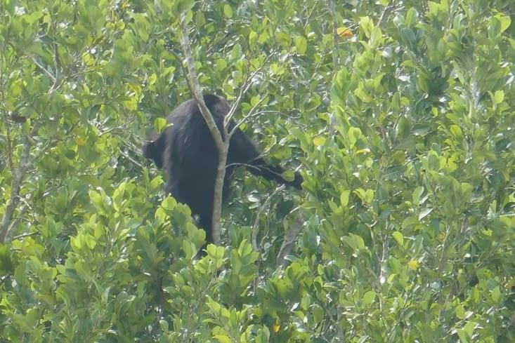 Vue d'en haut, de l'autre côté, un singe hurleur regarde au loin