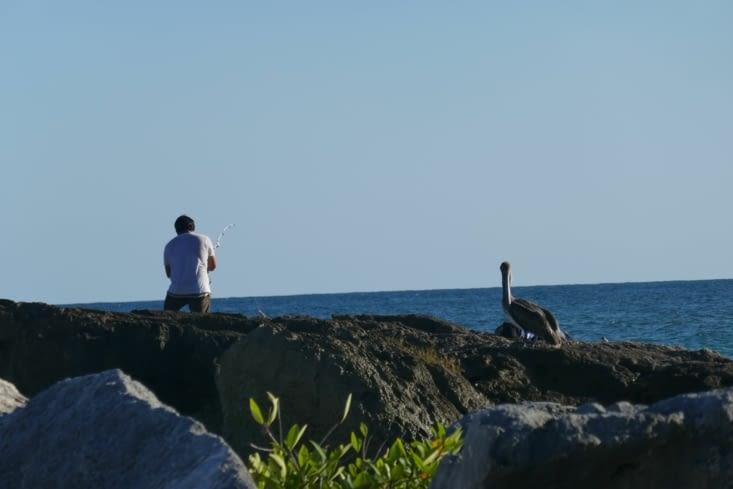 Des dizaines de pélicans plongent en piqués dans l'eau pour pêcher.