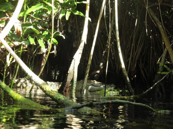 Un crocodile dans les mandroves.... ça fait bizarre.