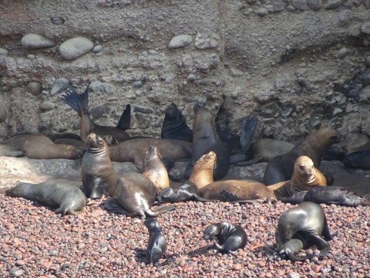 La baie de la maternité des loups de mer qui apprennent à nager à leurs petits