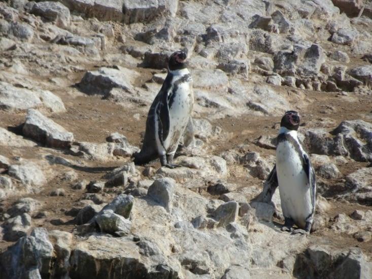 Quelques rares pingouins pour la saison