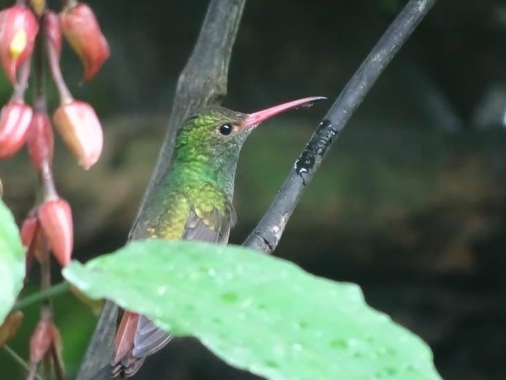 L'ultra rapide colibri