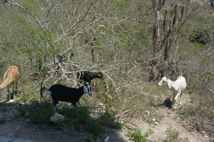 Chèvres croisées sur le chemin