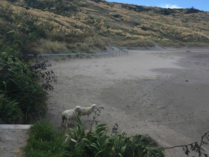 2 petits agneaux sur notre chemin à Wairarapa