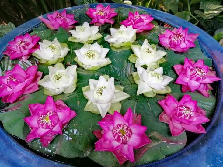 Lotus dans le jardin.