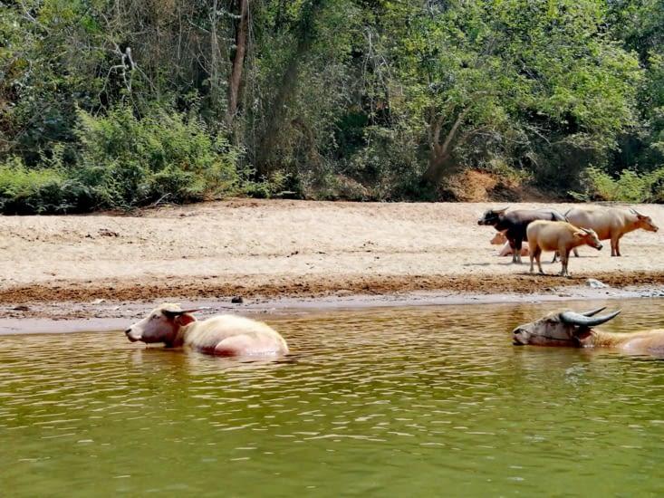 Le bain des bœufs.