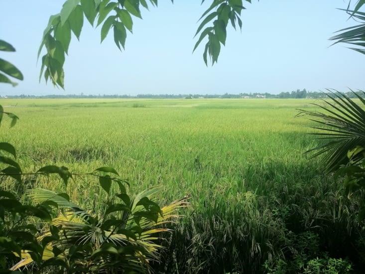 Les rizières vertes.