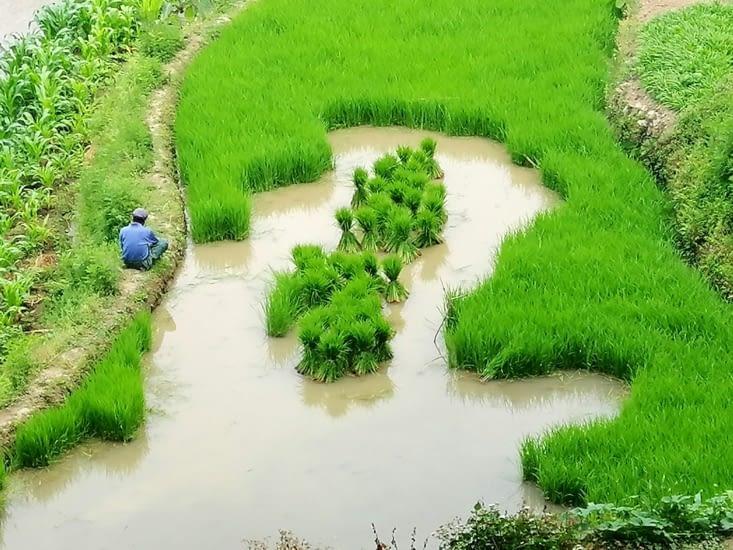Le repiquage du riz.