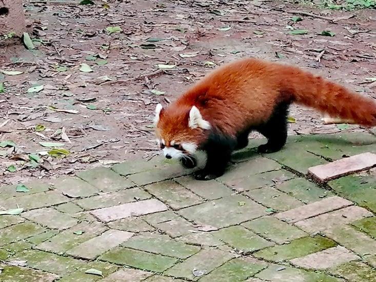 Le panda roux.