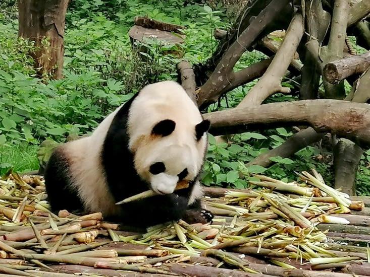 Lundi, du bambou; mardi, du bambou; mercredi, du bambou...