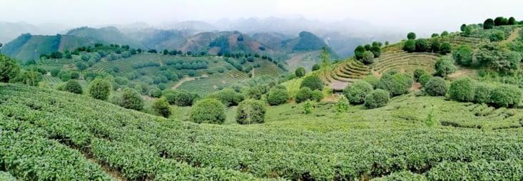 La Plantation de thé Seven Stars.