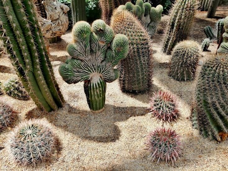 Cactus choux.
