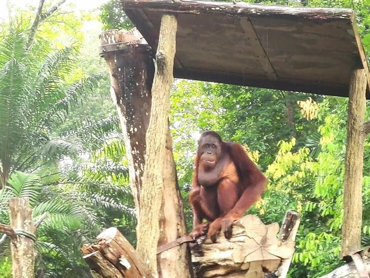 La goitre de l'orang outan.