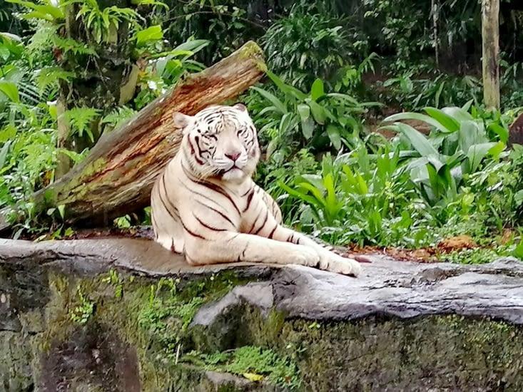 La majestée du tigre blanc.