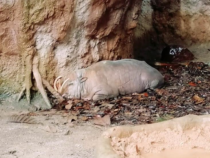 Un babiroussa se prenant pour un caméléon.