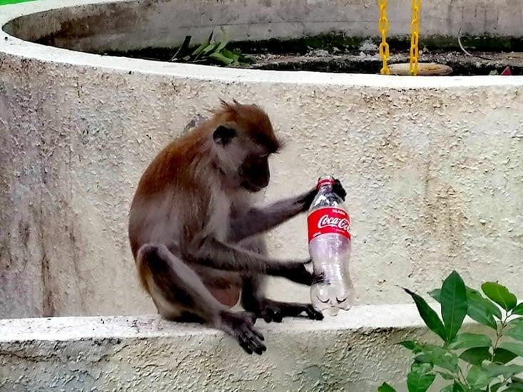 Anthropocène: du coca pour les singes.