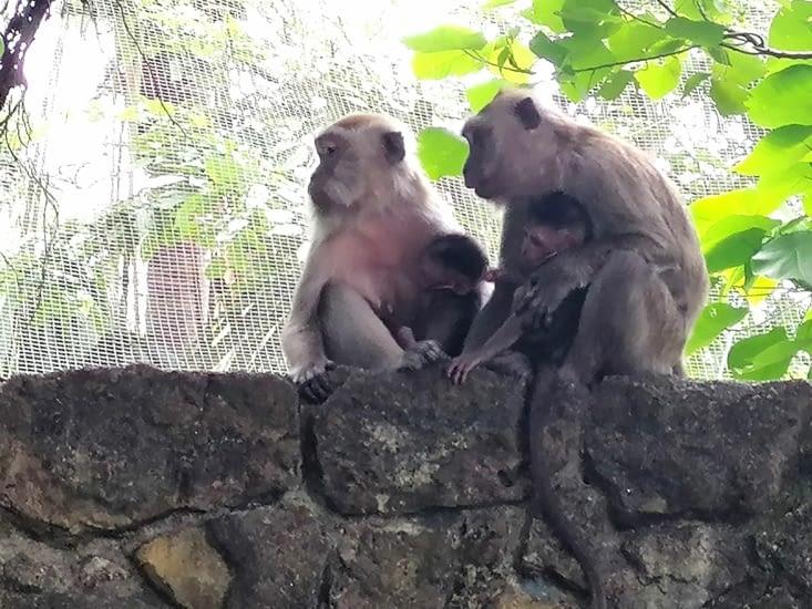 Famille singe en liberté vers le parking d'un jardin publique
