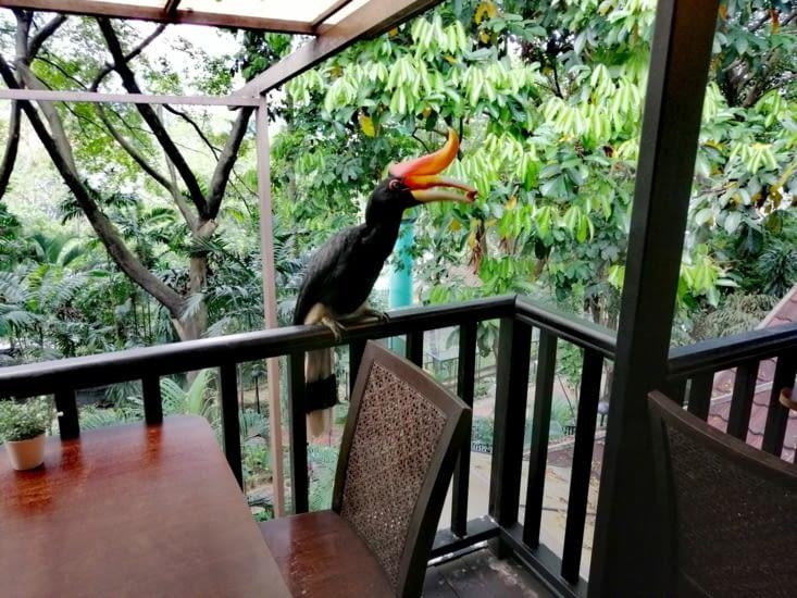 Un calao (ou hornbill) s'invite au déjeuner ❤️❤️❤️