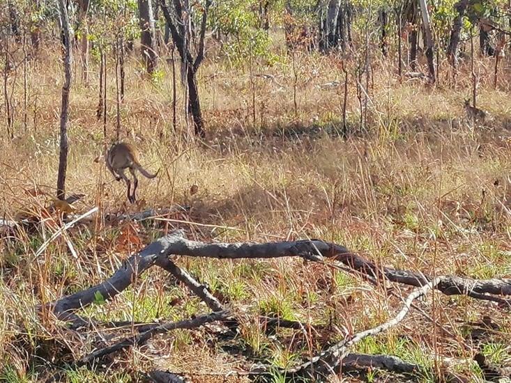 Nos premiers kangourous.