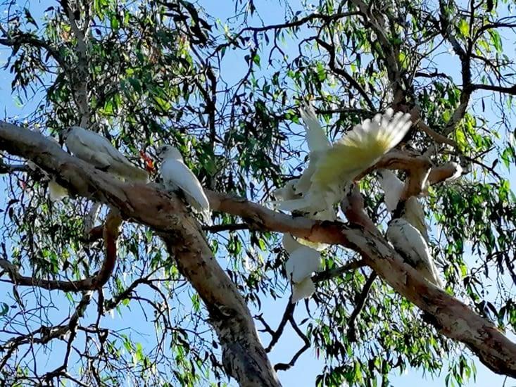 Un arbre de perroquets blancs.