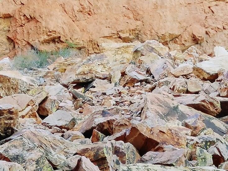 Des rock-wallabies