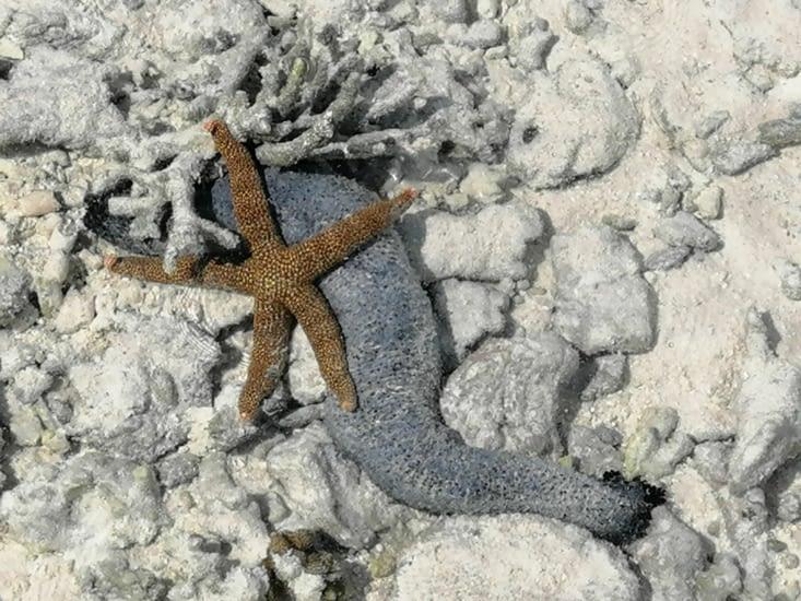 Fol amour entre un concombre et une étoile de mer
