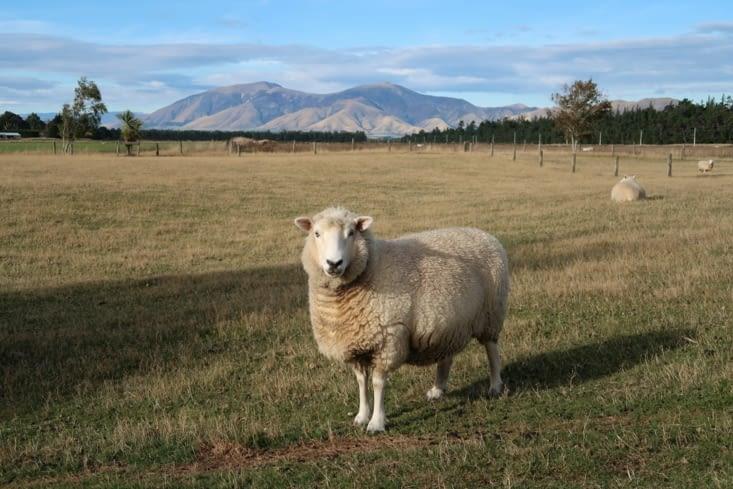 Enfin un mouton de près !